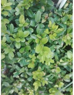 Bukszpan wiecznie zielony
