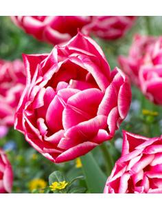 Tulipany Botaniczne