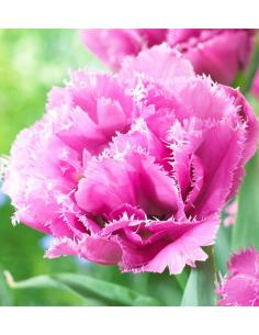 Tulipany Strzępiaste Pełne