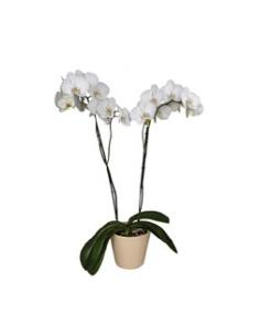 Orchidea Storczyk