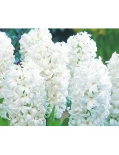 Hiacynt Biały 0004