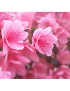 Hiacynt Różowy 0005