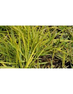 wyczyniec łąkowy