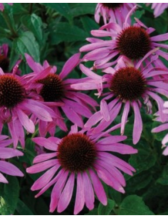 Jeżówka purpurea 'Magnus'
