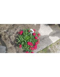 Werbena ogrodowa Czerwona