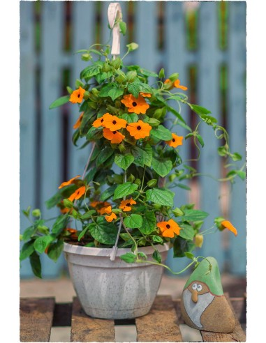 Tunbergia oskrzydlona pomarańczowa...