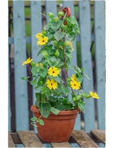 Tunbergia oskrzydlona żółta...