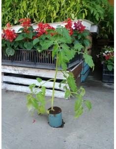 Pomidor Bawole Serce od...