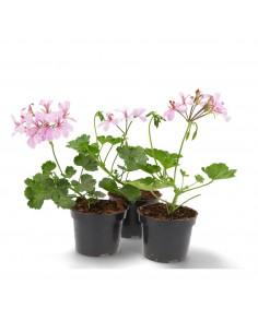 Pelargonia jasny róż PRODUCENT